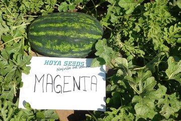 magenta f1 1528