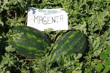 magenta f1 1529