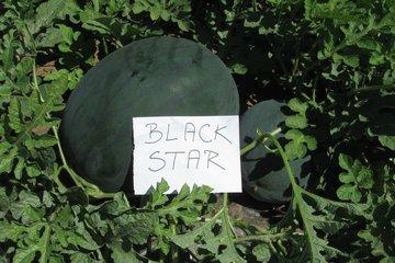 black star f1 1548