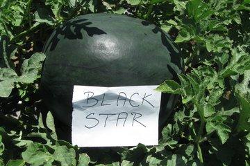 black star f1 1550
