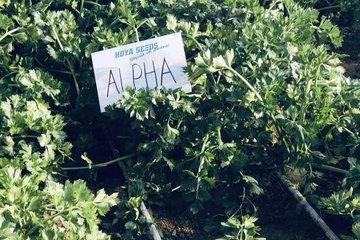 alpha 1618