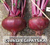 cvekla_egipatska