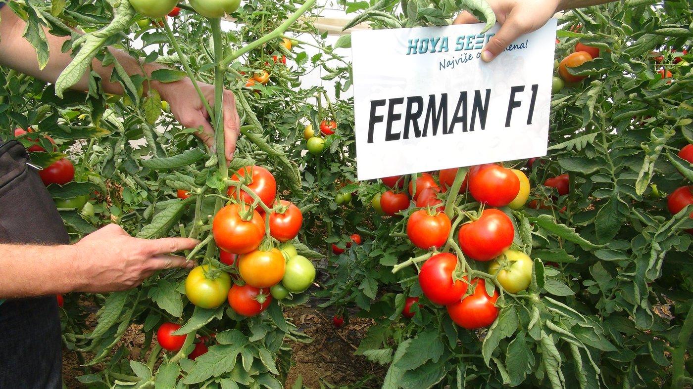 Ferman_1