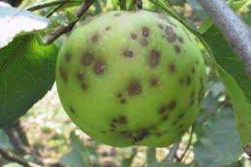 model bolesti jabuka
