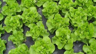 ogled salata zeljka dimitric
