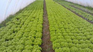 salate dragana savica