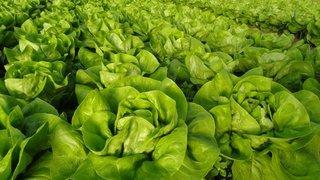 ogledi salata u madarskoj