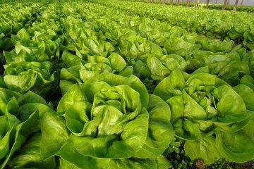 salata   zolika
