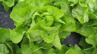 sotalis prva i za sada jedina prava letnja salata