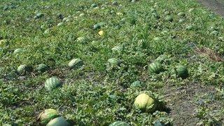 dani povrca lubenica