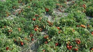 dani povrca paradajz