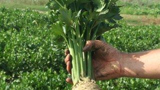 dani povrca celer