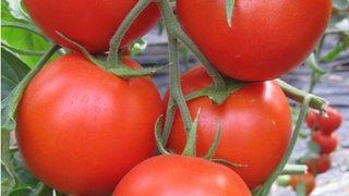 novost paradajz