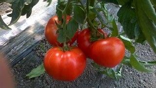 paradajz salisidro f1