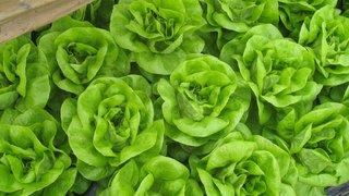 lettuce genesis