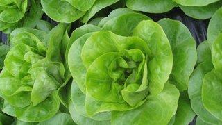 salata genesis