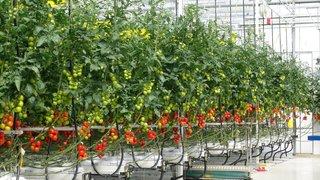 tomato axia seeds