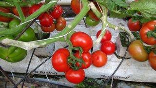 izuzetni hibridi paradajza