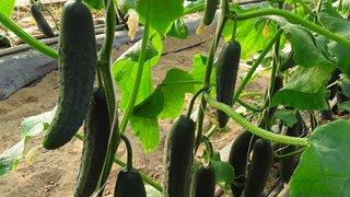 krastavac merry f1 genome seeds
