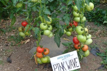 pink wave f1 4048