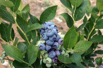 blueberry 4059