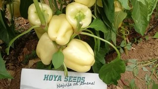 paprika ramona kod sase marjanovica