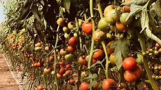 genome seeds paradajz