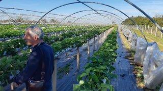 uzgoj jagoda u zatvorenom prostoru