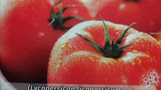 paradajz kessie f1