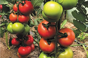 paradajz prospekat