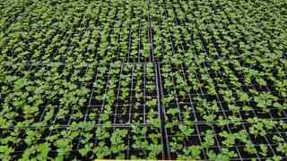 seme celera koje donosi uspeh