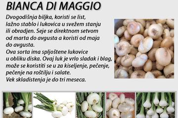 Prezimljujući_luk_Bianco_Di_Magio