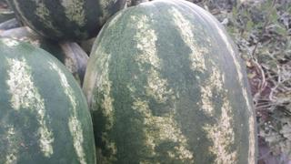 lubenica fusara f1