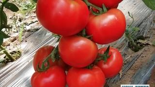paradajz ferman f1